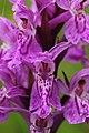 Dactylorhiza sp. (14608394053).jpg