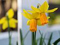 Daffodils on St. David's day (12867214265).jpg
