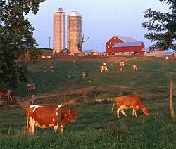 Cattle on a dairy farm in Maryland, United States.