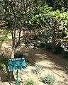 Dalbergia melanoxylon - Arusha gardens 1.jpg