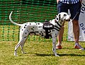 Dalmatian at Easton Lodge Gardens open day, Little Easton, Essex, England 02.jpg