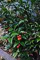 Danae racemosa, frutti.jpg