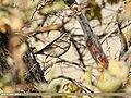 Dark-throated Thrush (Turdus ruficollis) (32432554488).jpg