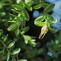 Darwinia citriodora-IMG 0350.jpg