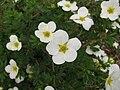 Dasiphora fruticosa 'Mckay's White' 01.jpg