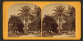 Date palm, Estate of M.J. Brown, Esq, from Robert N. Dennis collection of stereoscopic views.png