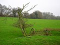 Dead Tree, Leasams Hill - geograph.org.uk - 300235.jpg
