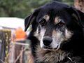 Denali Sled Dogs... (2574400052).jpg