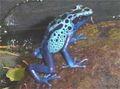 Dendrobates azureus small.jpg