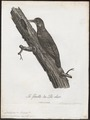 Dendropicus menstruus - 1796-1808 - Print - Iconographia Zoologica - Special Collections University of Amsterdam - UBA01 IZ18700195.tif