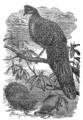 Descent of Man - Burt 1874 - Fig 51.png