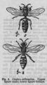 Descent of Man - Burt 1874 - Fig 9.png
