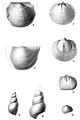 Descriptions of Some New Species of Devonian Fossils Plate 2.jpg