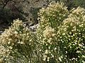 Desert Broom - Flickr - treegrow.jpg