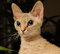 Devonrex wanilia female.jpg