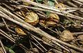 Dew retting flax close-up.jpg