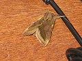 Diachrysia chrysitis - Burnished brass - Металловидка золотая (26236307977).jpg