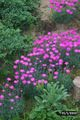 Dianthus alpinus Wendy 2005-12-04.jpg
