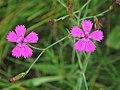 Dianthus deltoides RF.jpg