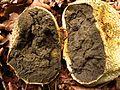 Dickschaliger Kartoffelbovist (Scleroderma citrinum)-Reife Sporenmasse im Querschnitt.jpg