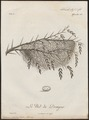 Dicrurus musicus - nest met ei - 1796-1808 - Print - Iconographia Zoologica - Special Collections University of Amsterdam - UBA01 IZ16400095.tif