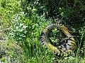 Dictamnus albus sl109.jpg