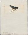 Diglossa brunneiventris - 1820-1860 - Print - Iconographia Zoologica - Special Collections University of Amsterdam - UBA01 IZ19000409.tif