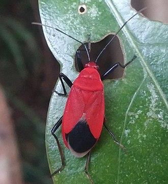 Pyrrhocoridae - Dindymus rubiginosus, East Asia