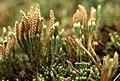 Diphasiastrum alpinum strobili (02).jpg