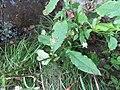 Dipsacus pilosus plant (10).jpg