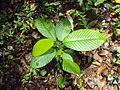 Dipterocarpus bourdillonii 01.JPG