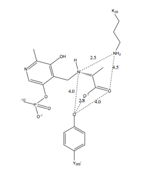 Alanine racemase - Figure 3. Schematic diagram of the distance between Lys39, Tyr 265, and PLP-L-Ala in the active site.  All interactions shown are under 4.5 and therefore are capable of hydrogen bonding. Adapted from Watanabe et al.