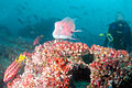 Diver, Hogfish and Parrotfish, Darwin Island, Galapagos Islands, Ecuador.jpg