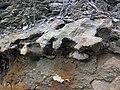 Dolostone (Rockford Limestone, Lower Mississippian; Burkesville West Rt. 90 roadcut, Kentucky, USA) 2 (45708261635).jpg