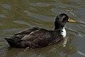 Domestic Duck (Anas platyrhynchos domesticus) - Kitchener, Ontario.jpg