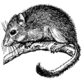 Dormouse (PSF).png