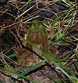 Douthat State Park - American bullfrog - 2.jpg