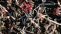 Drosera rotundifolia in hureainomori komaki 2011-01-02.JPG