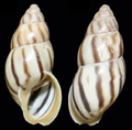Drymaeus cecileae shell.png