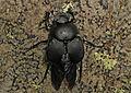 Dung Beetle - Canthon pilularius?, Catoctin Mountains, Maryland.jpg