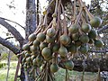 Durian plantation out of season 1.jpg