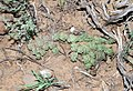 Duvalia corderoyi (Apocynaceae- Asclepiadoideae) in habitat (4609164473).jpg