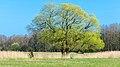 Duvenstedter Brook, Baum erstes grün.jpg