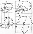 EB1911 Craniometry - Fig. 1—Skull and head of a young orang-utan.jpg