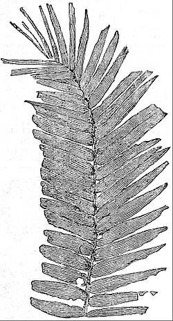EB1911 Palaeobotany - Frond of Williamsonia gigas.jpg