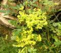 E seguieriana ssp niciciana2 ies.jpg