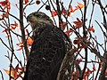 Eagle, almost mature in sweetgum tree at Eastern Neck National Wildlife Refuge (33569655594).jpg