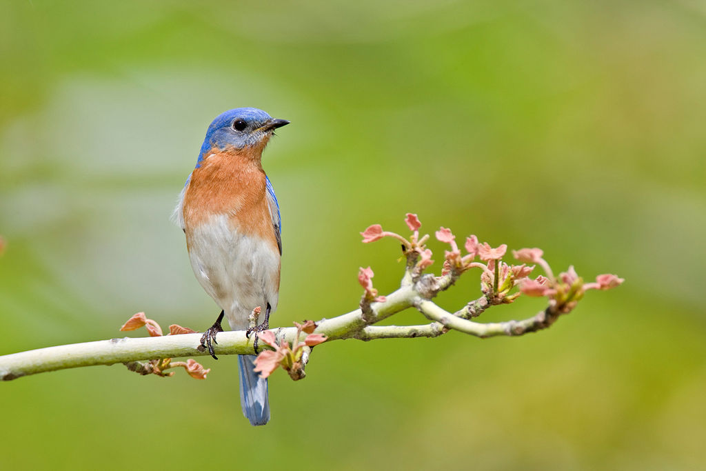 Eastern Bluebird in North Carolina