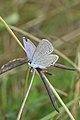 Eastern Tailed-Blue (Cupido comyntas) - Guelph, Ontario 04.jpg