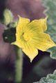 Ecballium elaterium, flower..jpg